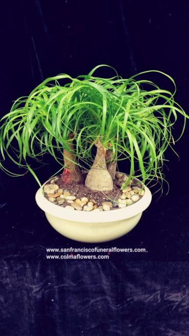 Ponytail Palm garden